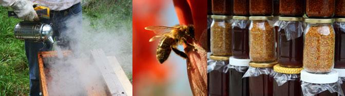 Recolte du miel, pots de miel et de pollen, abeille butinant