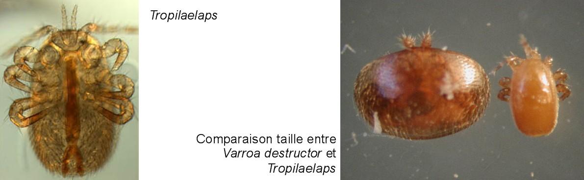 Groupe_Tropilaelaps