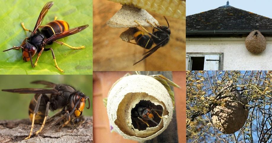 Vespa velutina dépeçant une abeille, nids primaires en construction et nids secondaires