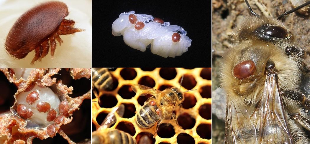 Varroa destructor sur larve et phorétique (sur abeille)
